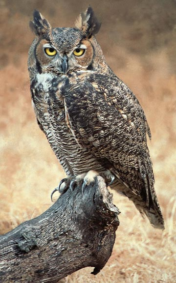 Great Horned Owl Silent Stealthful amp Lethal The Batavian