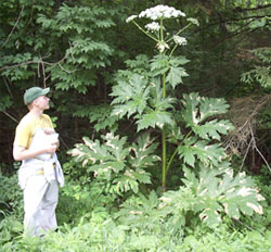Giant hogweed in Genesee County The Batavian