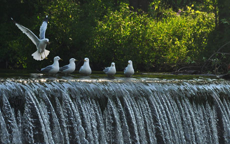 seagulls_waterfall.jpg