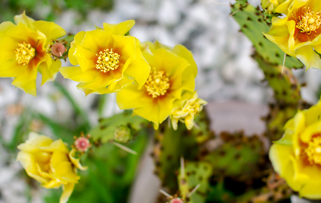 Photo yellow rose of texas in batavia the batavian its not often you see cactus growing in somebodys front yard in western new york but ellicott street resident frank belluuci has two potted beaver tail mightylinksfo