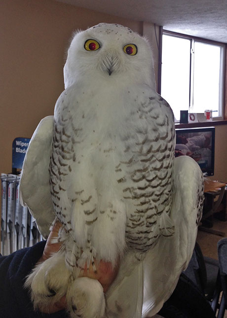 Southside Auto Sales >> Residents flocking to see snowy owls at airport | The Batavian