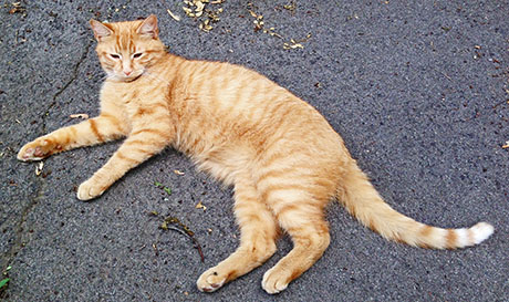 Cat Owner Looking For Lost Orange Tabby The Batavian