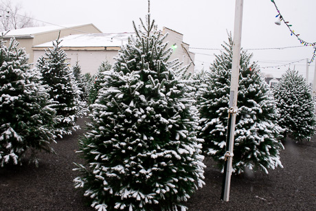 harringtons produce on clinton street road has their christmas trees out but these trees arent flocked at least not in spray on substance sense