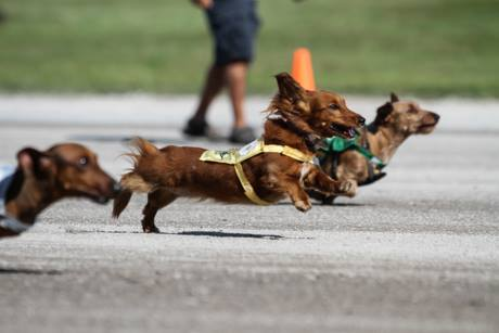 batavia_downs_wiener_dogs.jpg