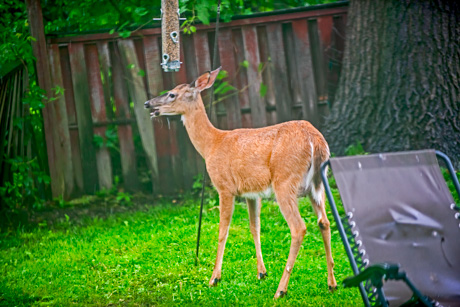 backyarddeerjune162019.jpg